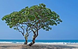 Two Heliotrope Trees on Tropical Beach