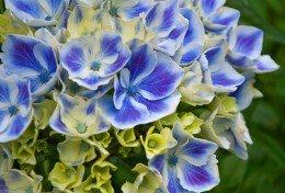 Blue Harlequin Hydrangea Flower