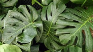 philodendron-poisonous-plants-and-children - Poisonous Plants And Children