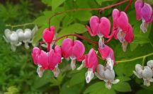 Bleeding Heart Flowers - Poisonous Plants And Children