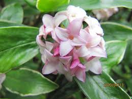 poisonous-plants-and-children-daphne - Poisonous Plants And Children