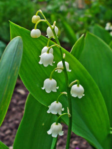 poisonous-plants-and-children-lily-of-the-valley - Poisonous Plants And Children