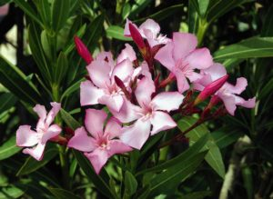 poisonous-plants-and-children-oleander - Poisonous Plants And Children