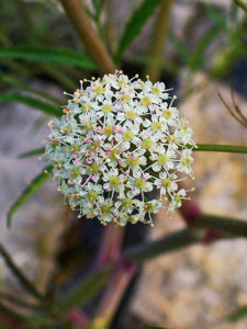 poisonous-plants-and-children-water-hemlock - Poisonous Plants And Children